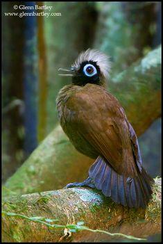 Hairy-crested Antbird (Rhegmatorhina melanosticta) perched on a branch in Peru.- Photography by Glenn Bartley