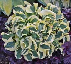 Mini Skirt Hosta PPAF Starter Plug Description (Walters Gardens) Miniature Hosta Cultivar Another great addition to the 'Mouse Ears' lineage. New sport of H. 'Mighty Mouse' with ruffled foliage.  The very thick leaves emerge blue-green in spring with a nice yellow margin. In mid-summer the leaves are green and the margins are creamy-white.   These mice keep breeding and we love it! Add this beauty to your miniature garden or special container!  Pale lavender flowers with purple stripes…