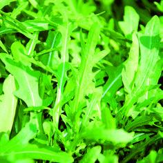 Rucola- Dunkelgrüne, feingezähnte Blätter von wild-herbem Geschmack. Gibt jedem Salat die spezielle Note. Ganzjährige Bereicherung für die phantasievolle und moderne Küche. Sehr einfach zu kultivieren.
