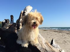 At the end of the summer with my sweet havanese Tabata