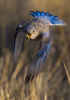 Merlebleu de l'Ouest femelle / Adult Female Western Bluebird (Sialia mexicana) Sialia mexicana (Swainson, 1832) : - Merlebleu de l'Ouest ; - Western bluebird ; - Azulejo de garganta azul ; - Azzurrino occidentale ; - Blaukehl-Hüttensänger ; -...