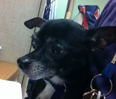 SAFE --- TO BE DESTROYED - 7/17/14  Manhattan Center    My name is TYSON. My Animal ID # is A1006525.  I am a male black and white chihuahua sh mix. The shelter thinks I am about 12 YEARS old.   I came in the shelter as a OWNER SUR on 07/13/2014 from NY 10462, owner surrender reason stated was MOVE2PRIVA.   https://www.facebook.com/photo.php?fbid=838792252800322&set=a.611290788883804.1073741851.152876678058553&type=3&permPage=1