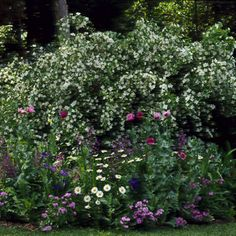 Mock Orange Information Looks great as a backdrop, with the other small floral plants infront.