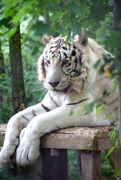 ,Carolina Tiger Rescue