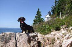 Maine Dog Vacation (Part 3) – Crusoe the Celebrity Dachshund