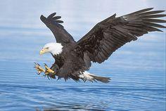 2016-2-24 -  $25,000 Reward Offered After Deaths of 13 Bald Eagles in Maryland.  Contact:  Catherine Kilduff, (202) 780-8862, ckilduff@biologicaldiversity.org