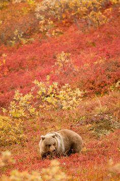 Denali Cub Alaska