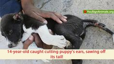 14-yr boy cut off a dog's ears & tried to saw off its tail- a sweet innocent puppy. His sister caught him & he fled. He was booked hours later. Please sign:http://www.yousignanimals.org/14-year-old-caught-sawing-off-puppys-ears-Demand-prosecution-now-t-1878 I signed!  Animal abusers often grow up to become murderers-stop him now!