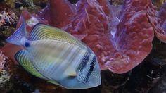 blue and yellow salt water fish Salt Water Fish, Salt And Water, Life Under The Sea, Deep Blue Sea, Beautiful Fish, Ocean Life, Aquarium Fish, Oklahoma, Underwater