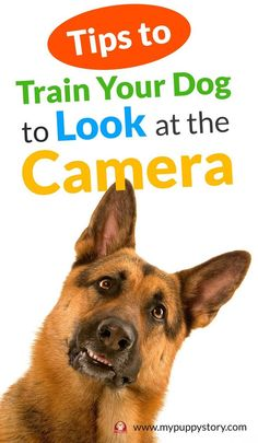 How to Train Your Dog to Look at the Camera - http://mypuppystory.com/dogs-training/ So without further ado, let's get you some tips that are apparently used by professional pet photographers to produce photos of dogs that leave viewer amazed. mypuppystory.com