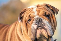 7 Must-Know Things About Idiopathic Head Tremors in Bulldogs