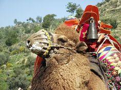 Camel Wrestling - Turkey