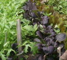 Succession Planting in the Vegetable Garden
