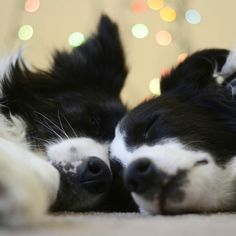 Border Collie naptime