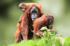 Discover Malaysia's buzzing cities and beautiful beaches, then head to Borneo in search of wildlife. Design your Malaysia escape with a little help from us. Orangutan Sanctuary, Borneo Orangutan, Orangutans, Phuket, Primates, Mammals, Volunteering With Animals, Malaysia Tour, Jungle Life
