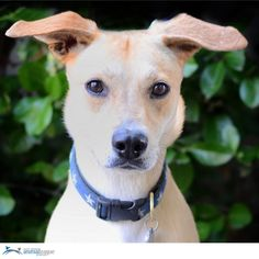 """Kendall, a 4 year-old Lab/Terrier mix, is super smart! She knows """"sit,"""" """"paw,"""" """"play dead,"""" and is an excellent walker. Kendall will do great in a home with children older than 12 and a canine pal (no cats please!). If you are interested in meeting or adopting Kendall, please email Erica Knors at EricaK@animalleague.org. Kendall's adoption number is T80732. Photo courtesy of Ellen Dunn."""