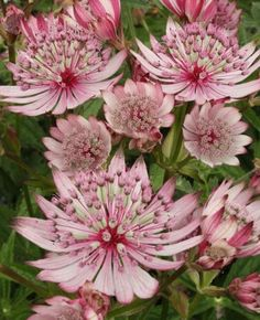 Astrantia major Sparkling Stars Pink