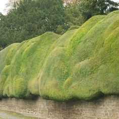 Yew hedge plants | Taxus baccata hedging