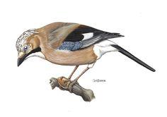 corvids birds | ADW: Garrulus_glandarus.jpg   Eurasian Jay