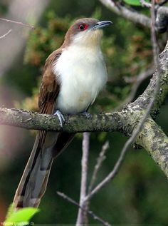 B For Birds Yellow Billed Cuckoo See More