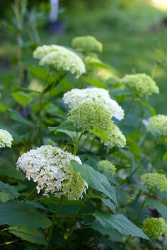 Annabelle Hydrangea | Flickr - Photo Sharing!