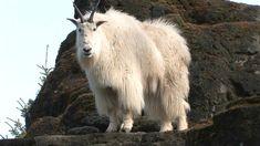 Mountain Goats Aren't Actually Goats