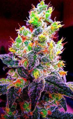 Like a Christmas tree. Lots of nice crystals and big bud