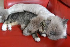 via Reddit: 'My cat really loves the foster kitten' Awwww