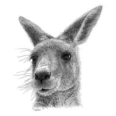Kangaroo Pen and Ink Drawing. his animals are simply amazing! Dotted Drawings, Realistic Pencil Drawings, Ink Pen Drawings, Animal Sketches, Animal Drawings, Animal Illustrations, Kangaroo Illustration, Face Illustration, Kangaroo Drawing