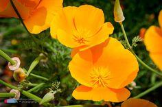 Stefanodav's Shot-Blog: Stunning color... #stefanodav #maui #hawaii #iamnikon #nikonphotography #travel #travelphotography #blogger #beautifulplace #placetovisit #usa #gohawaii #flower #fiore  #natura