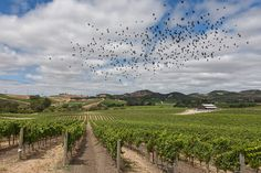 Magpies Safeguarding Vineyards from Grape-Eating Birds – The Grape Geeks