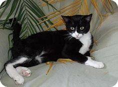Hermosa Beach, CA - Domestic Shorthair. Meet Trillian, a cat for adoption. http://www.adoptapet.com/pet/12484664-hermosa-beach-california-cat