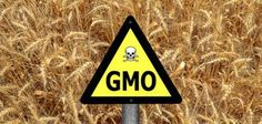 GMO Soy Accumulates Carcinogenic Formaldehyde: Game-Changing Study