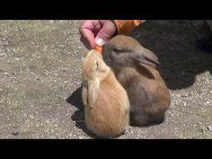 La isla de conejos de Japón demuestra que estos animales no siempre son plagas | CPost - Posteando Curiosidades