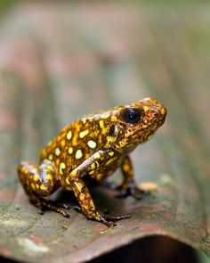 Little Devil Poison Frog, in habitat. IUCN Redlist: Near Threatened. By Brad Wilson, DVM Reptiles And Amphibians, Mammals, Frosch Illustration, Animals Beautiful, Cute Animals, Amazing Frog, Poison Dart Frogs, Cute Frogs, Frog And Toad