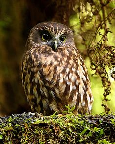 Morepork, Tasmanian Spotted Owl or ruru (Ninox novaeseelandiae) - found throughout New Zealand and Tasmania Beautiful Owl, Animals Beautiful, Cute Animals, Owl Photos, Owl Pictures, Spotted Owl, Owl Always Love You, Tier Fotos, Mundo Animal