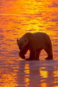Polar Bear in Artic Golden Sun