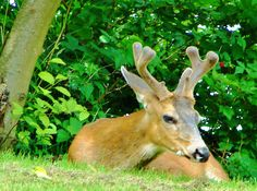 Young Blacktail Buck - at rest beside Heritage Mountain Boulevard, Port Moody, B.C. - 2008