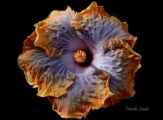 Hibiscus by Pamela Beale on 500px