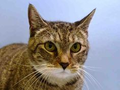 ZOOM - A1047571 - - Manhattan **TO BE DESTROYED 08/28/15** Stunning ZOOM has a home somewhere. She is 4 years old, obese, and carries herself with a majestic air; this girl is NO stray! This is a pet who has either wandered too far from home and gotten picked up, or maybe her former people did her wrong and only pretended that she was unknown to them. Whatever the case, ZOOM has a few, short hours to live unless someone steps up to foster or adopt her. Be a force for good