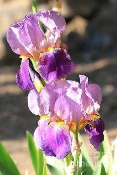 """Two Purple Irises"" by Carol Groenen #iris #irises #purple #purpleflowers"