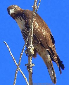 Hawk on Watch by Bobbee Rickard prints, wall art, greeting cards and more; click on image to view more; all shipped direct;