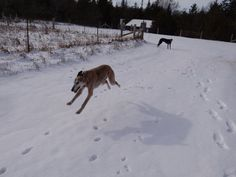 """We all know that Greyhounds are fast, but here's proof that our Greyhound, Beau, can actually """"fly"""".  His housemate, Diego, looks on..."""