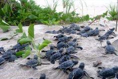 Baby Sea Turtle, Hutchinson Island, Florida