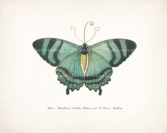 Antique+Butterfly+Illustration+Plate+iv+10+x+by+HighStreetVintage,+$15.00