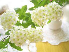 białe kwiaty dzikiej wiśni
