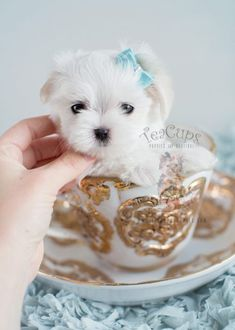 Teacup #maltese puppy by TeaCups, Puppies & Boutique! www.TeaCupsPuppies.com