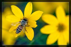 Biene °° bee °° Apis mellifera