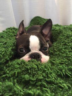 boston terrier | Tumblr
