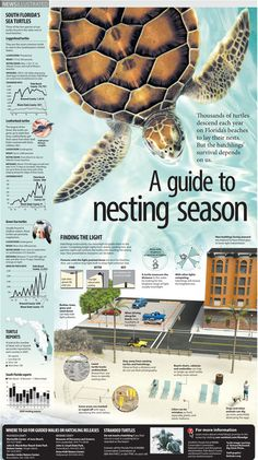 Infographic describing how sea turtle hatchlings' survival depends on us. Infographic reported, written, illustrated and designed by Belinda Ivey of KarBel Multimedia for the South Florida Sun Sentinel. turtle photos courtesy of Richard McDowell –...